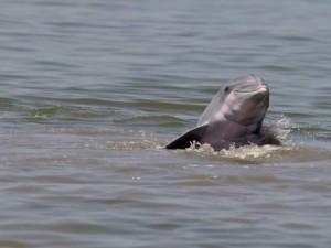 dolphin grand terre island ap