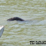California sea lion swims along Sacramento River