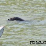 California sea lion swims along Sacramento River